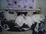 Продават се бебета Мини Шпиц-Кучета