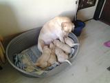 Продавам бебета лабрадори-Кучета