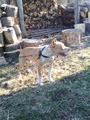 Чистокръвен Питбул-Кучета