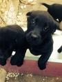 Черни лабрадори-Кучета