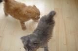 Продавам персийско-ангорски: момченце и момиченце.-Котки