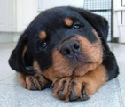 Мъжко ротвайлерче-Кучета