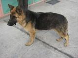 Немска овчарка 9 месеца-Кучета