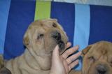 Sharpei-Кучета
