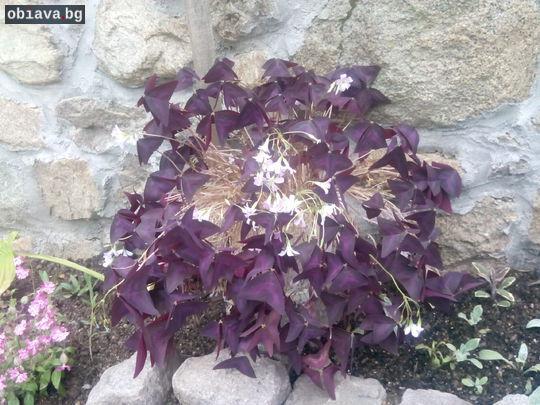 Оксалис регнели (oxalis regnellii) - цвете на щастието | Дом и Градина | Сливен
