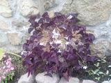 Оксалис регнели (oxalis regnellii) - цвете на щастието-Дом и Градина
