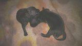 Продавам расови Питбули - чисто черни на цвят-Кучета
