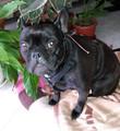 Френски булдог-Кучета
