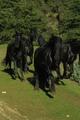 Добре обучени коне (Моли и Холи) Frisians за осиновяване.-Коне