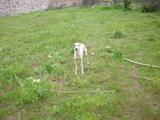 Уипет мини хрътка-Кучета