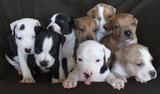 Продавам уникални кученца Американски Питбул Териер АПБТ-Кучета