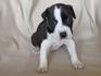 Продавам уникални кученца Американски Питбул Териер АПБТ | Кучета  - Перник - image 2