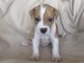Продавам уникални кученца Американски Питбул Териер АПБТ | Кучета  - Перник - image 12