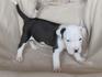 Продавам уникални кученца Американски Питбул Териер АПБТ | Кучета  - Перник - image 7