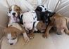 Продавам уникални кученца Американски Питбул Териер АПБТ | Кучета  - Перник - image 14