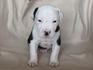 Продавам уникални кученца Американски Питбул Териер АПБТ | Кучета  - Перник - image 6