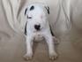 Продавам уникални кученца Американски Питбул Териер АПБТ | Кучета  - Перник - image 4