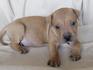 Продавам уникални кученца Американски Питбул Териер АПБТ | Кучета  - Перник - image 11