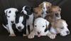 Продавам уникални кученца Американски Питбул Териер АПБТ | Кучета  - Перник - image 0