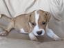 Продавам уникални кученца Американски Питбул Териер АПБТ | Кучета  - Перник - image 13