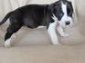 Продавам уникални кученца Американски Питбул Териер АПБТ | Кучета  - Перник - image 3
