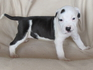 Продавам уникални кученца Американски Питбул Териер АПБТ | Кучета  - Перник - image 5