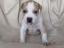 Продавам уникални кученца Американски Питбул Териер АПБТ | Кучета  - Перник - image 8