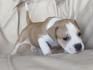 Продавам уникални кученца Американски Питбул Териер АПБТ | Кучета  - Перник - image 9