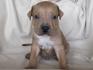Продавам уникални кученца Американски Питбул Териер АПБТ | Кучета  - Перник - image 10