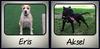 Продавам уникални кученца Американски Питбул Териер АПБТ | Кучета  - Перник - image 1