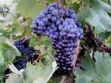 Продавам грозде Мерло-Храни, Напитки