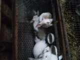 Продавам Зайци-Други Любимци