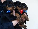 Малки ротвайлерчета-Кучета