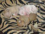 Чихуахуа - малки и сладки-Кучета