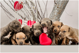 Pitbull Blue nose/ Питбул сив-Кучета