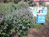 Лофант семена  (медоносно растение за пчели)-Паяци и Насекоми