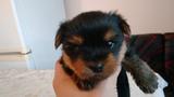 Продавам кученце йоркширски териер (момченце)-Кучета