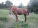 Продавам кобила-Коне