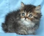 Класическо персийско котенце-Котки