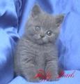Развъдник за чистокръвна Британска котка-Котки