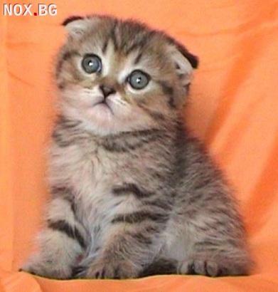 Клепоухо късокосместо таби котенце | Котки | София-град