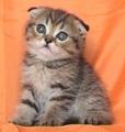 Клепоухо късокосместо таби котенце-Котки