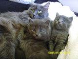 Продавам котета от порода НИБЕЛУНГ-Котки