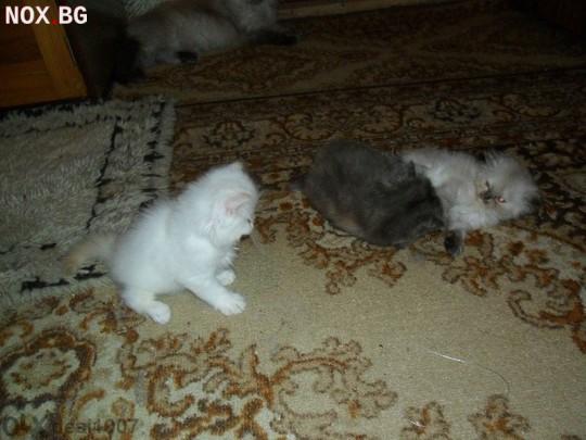 Персииски Котета | Котки | Велико Търново