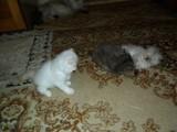 Персииски Котета-Котки