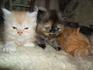 Персииски Котета | Котки  - Велико Търново - image 1