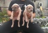 Продавам Американски питбул-Кучета