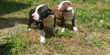 Продавам Питбули-Кучета