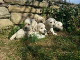 Голдън ретривър - малки (възможна е доставка)-Кучета