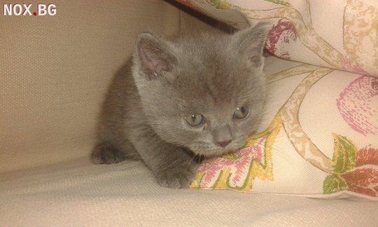 Продавам британско коте | Котки | Пловдив